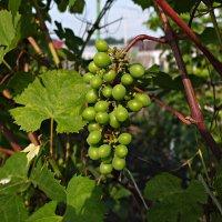 Сибирский виноград :: Андрей Кобриков