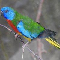 Глянцевый красногрудый травяной попугай. :: Вадим Синюхин