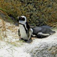 Пингвины :: olgadon Довженко