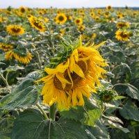 Солнечный цветок. :: Виталий Немченко