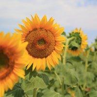 Солнечные цветы :: Ninell Nikitina