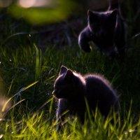 Игра котят на закате! :: Андрей Соловьёв