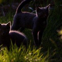 Игра на закате, котятки! :: Андрей Соловьёв