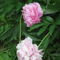 Три розовых цветка :: Дмитрий Никитин