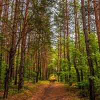 Сосновый лес :: Антон Никушин