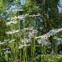 Ромашковый лес :: Марина Никулина