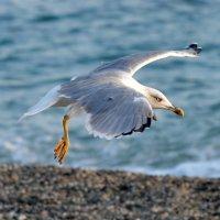 Чайка :: Юрий Кирьянов