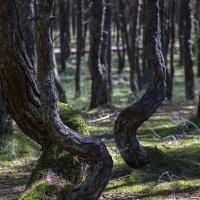 Танцующий лес :: Светлана Карнаух