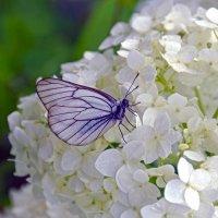 Бабочка и гортензия :: Нина Синица