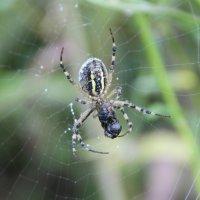 из жизни пауков :: Евгений Гузов