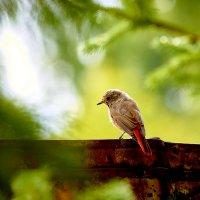 Птица горихвостка (лат. Phoenicurus) :: Владислав Левашов