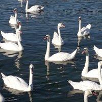Лебеди :: Лидия Бусурина