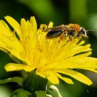 Пчелка на одуванчике :: Kasatkin Vladislav