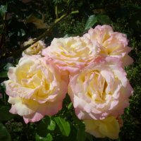Розы августа... :: Galina Dzubina