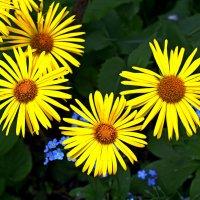 Жёлтые ромашки (дороникум) :: Евгений