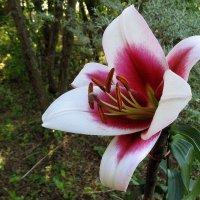 Лилия  -  цветок  Лета ...  жаркого  Лета ! :: Игорь Пляскин