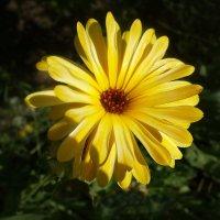 Цветок календулы :: Маргарита Батырева