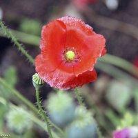 Не знаю краше ангельских цветов, которые зовутся красным маком … :: Андрей Иванович (Aivanovich-2009)