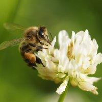 Пчела на клевере :: Евгений Седов