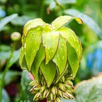 Эукомис - диковинный цветок :: Елена Митряйкина
