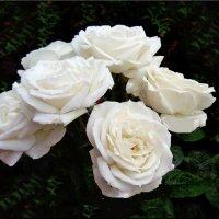 Белые розы в моём саду. :: Natali