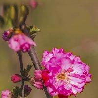 цветок миндаля :: Vladimir Egoshin