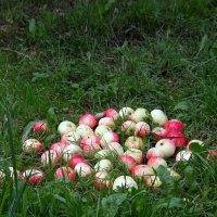 И падают в августе яблоки... :: Люба