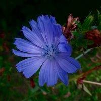 Голубой цветок цикория :: Наталья Цыганова