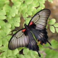 Papilio polytes :: Bo Nik