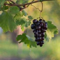"Гроздь винограда сорта ""Кодрянка"" :: Елена Ахромеева"