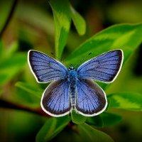 летние бабочки 5 :: Александр Прокудин