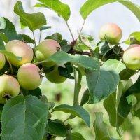 Яблочный спас :: Елена Митряйкина
