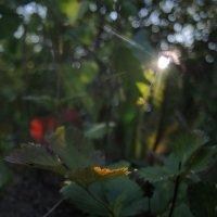 ещё горстку солнечных лучей :: sv.kaschuk