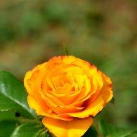 роза :: Константин Трапезников