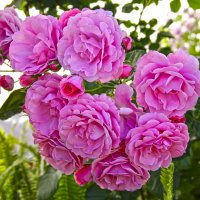 Я принес вам розовый букет... :: Андрей Иванович (Aivanovich-2009)