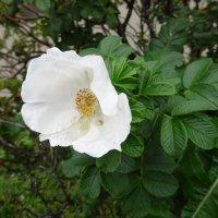 Белый цветок шиповника. :: Наталья Цыганова