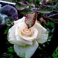 белая роза :: Владимир