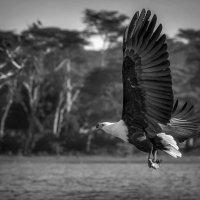 На охоте... Кения! :: Александр Вивчарик