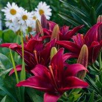 Красные лилии :: Ирина
