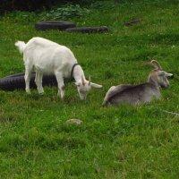 На лугу пасутся ко... Правильно: козы :: Андрей Лукьянов