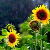 Летний дождь! Грибной дождь! :: Ольга Митрофанова