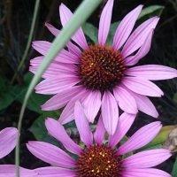 В розово-сиреневых тонах... :: Galina194701