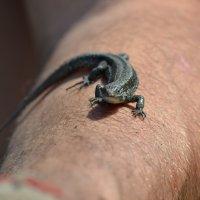 Ручная ящерица :: Евгения Коляда