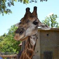 Жираф :: Евгения Коляда