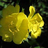 Лунный цветок в первых лучах солнца :: Тамрико Дат