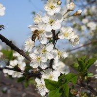 Пчела. :: Михаил