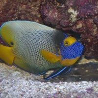 аквариумная красавица :: Юрий Соколов