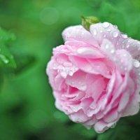 роза :: Толя Максименко