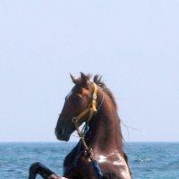 В море выгуливают арабских скакунов :: Кристина Волошина