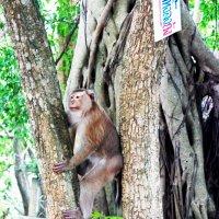 Monkey :: Ekaterina Ribnikova
